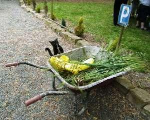 Chat fermier qui mâchonne le bél que les élèves ont ramassé.