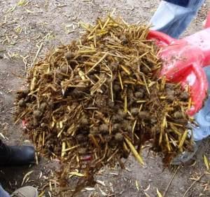 Compost fermier (paille de blé et crottes de lapin)