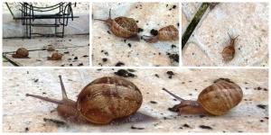 Famille d'escargot réveillée et abreuvée le 17 mai 2015